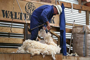 Largest sheep shearing competition