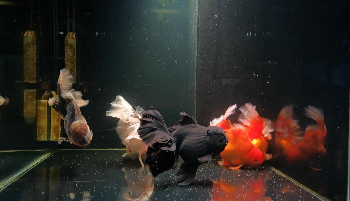 Goldfish with the most spawnings
